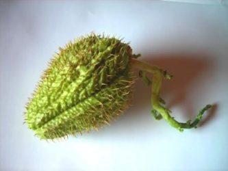 bučka čajota bodičasta sadika