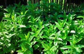 meta zelena sadika