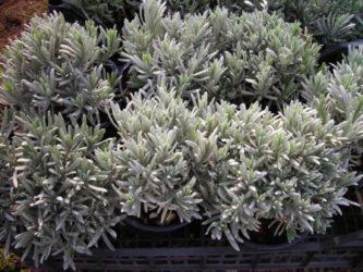 sivka sadika
